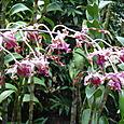 Orchid_in_sing_bot_garden1