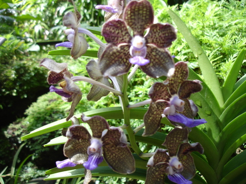 Orchid_in_sing_bot_garden5