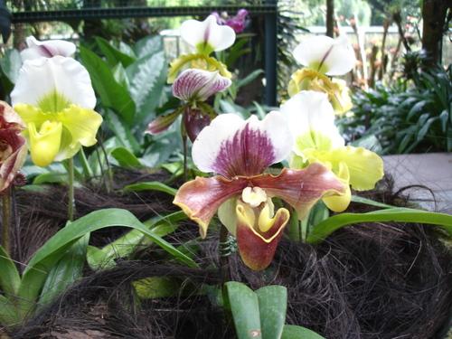 Orchid_in_sing_bot_garden6jpg