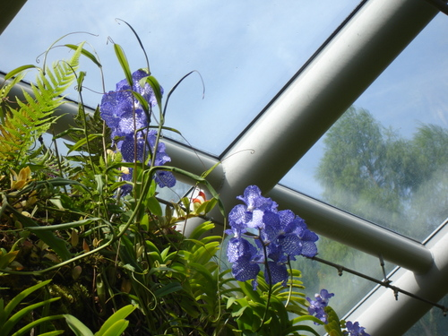 Orchid_in_sing_bot_garden8