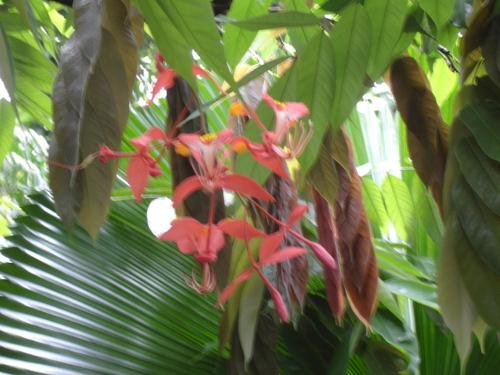 Rare_burma_pride_tree_sing_bot_garden